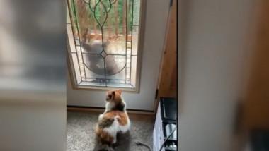 pisica urs usa