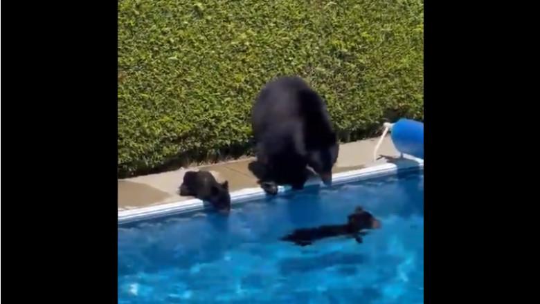 un pui de urs in piscina, altul pe margine alaturi de ursoaica