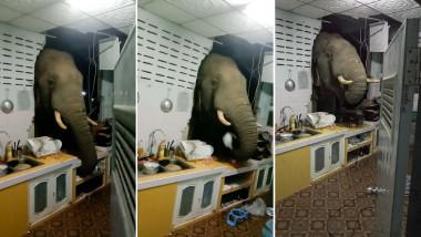 elefantul Boonchuay a spart peretele casei cu capul si cauta mancare in sertare