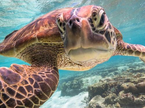 Turtle selfie Australia