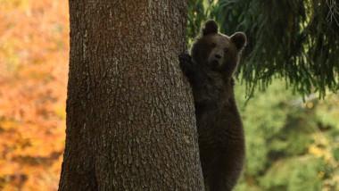 urs in copac