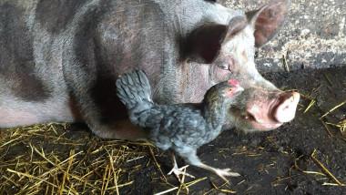 Un porc și o găină la o fermă.