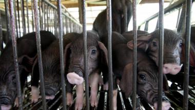 black piglet in cage of pig farming