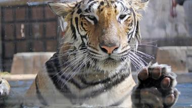 O grădină zoologică din SUA a început vaccinarea animalelor anti-Covid