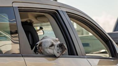 Un câine stă cu capul scos pe geamul mașinii.