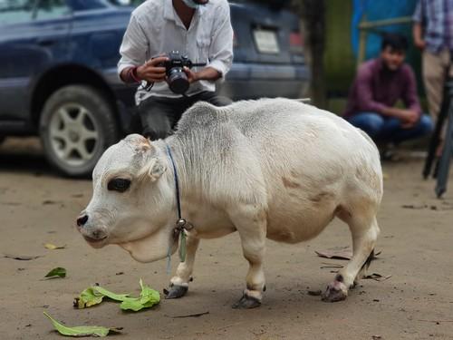 vaca-mica-rani (10)