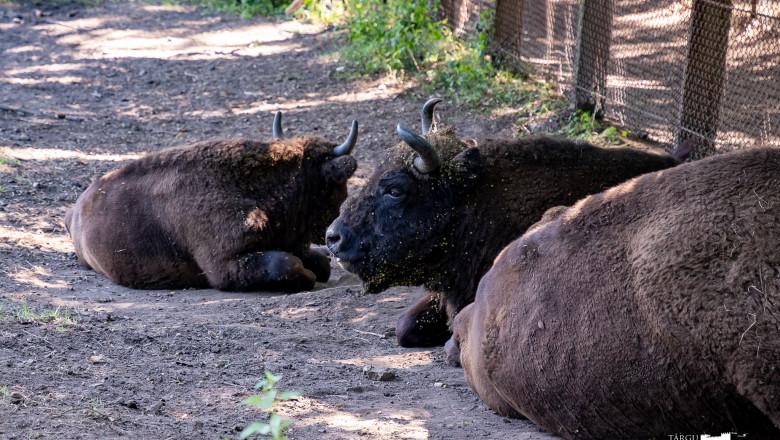 zimbri care stau la siesta