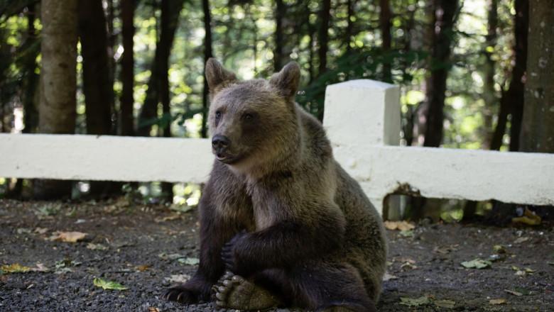 Brown bear cub near Transfagarasan road searching for food in a parking.