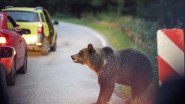 Urs la marginea unui drum în România, printre maşini