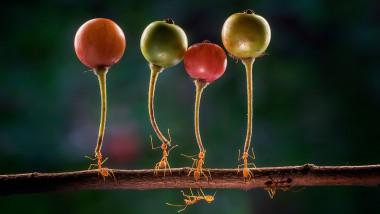 Patru furnici de doi centimetri merg la unison pe o ramură, transportând fiecare câte o cireașă sălbatică.