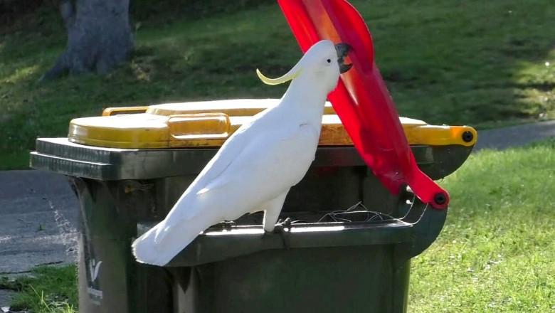 Un papagal cu creasta deschide capacul unui tomberon