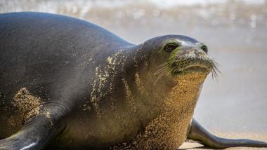 Hawaiian Monk Seal, Kaiwi, gives birth on beach, Waikiki, Hawaii - 26 Apr 2021