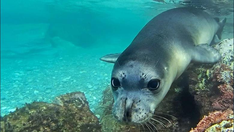 o focă-călugăr sub apă
