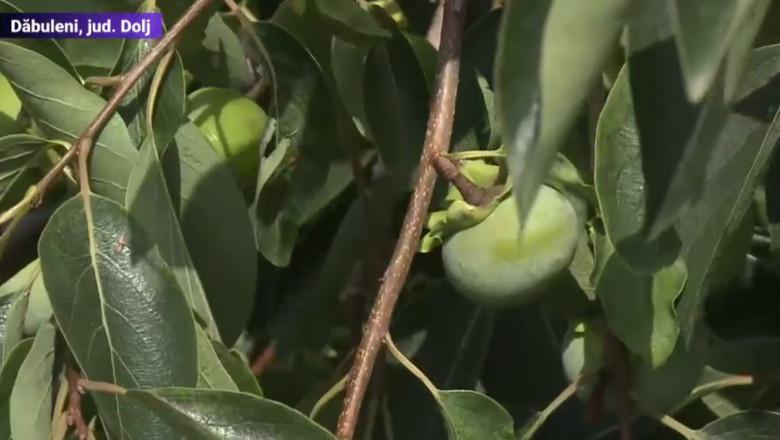 Arbust al unui fruct exotic la statiunea de cercetare de la Dăbuleni.