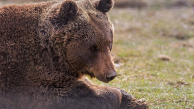 Eurasian brown bear, Romania