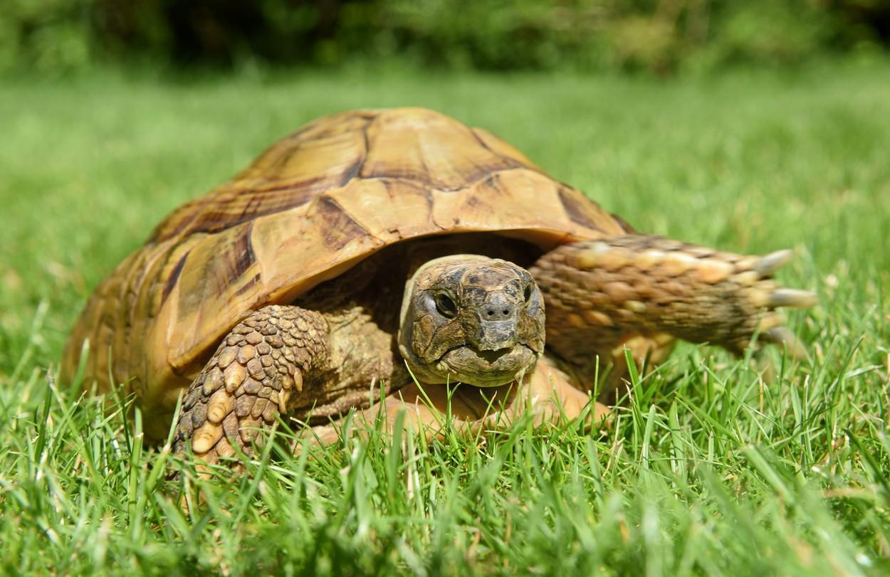 """.Maxi, """"țestoasa"""" fugită de acasă"""