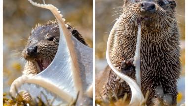 caracatita-vidra