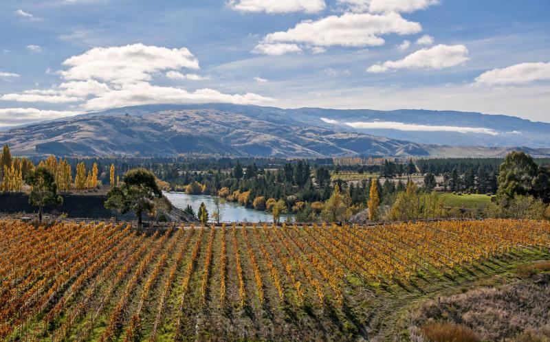 Autumn vineyard in New Zealand