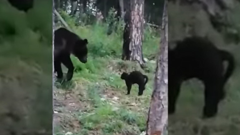 o pisica a alungat un urs