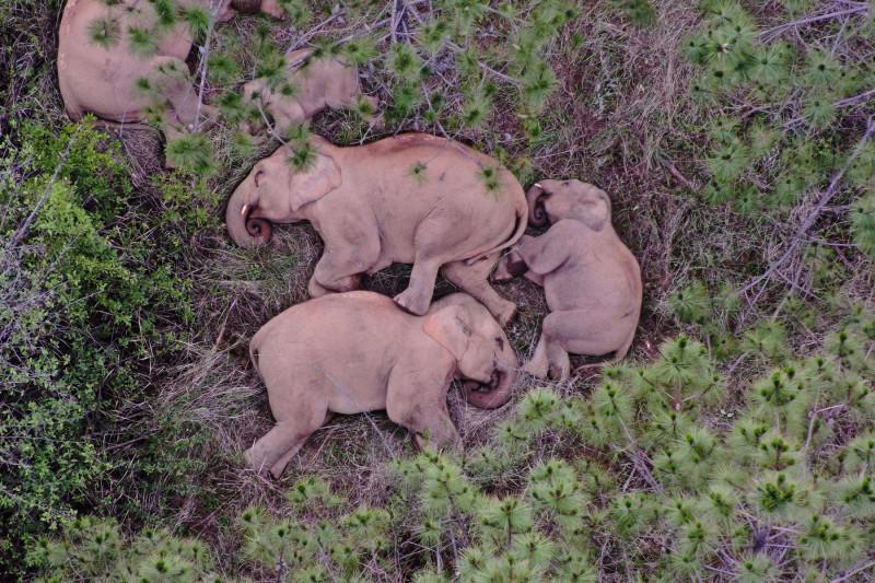 Elefanți adulți și pui adormiți printre copaci
