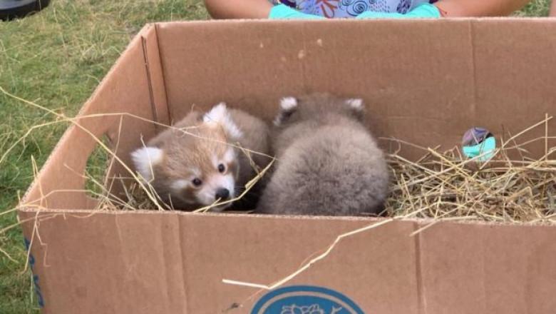 pui de urs panda rosii