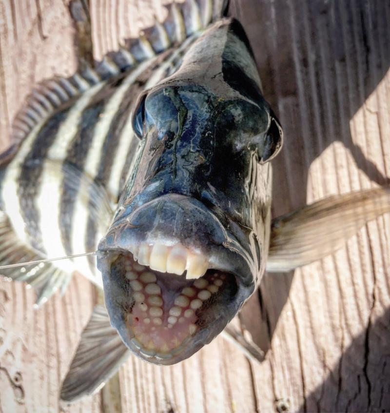 pește-cap-de-oaie