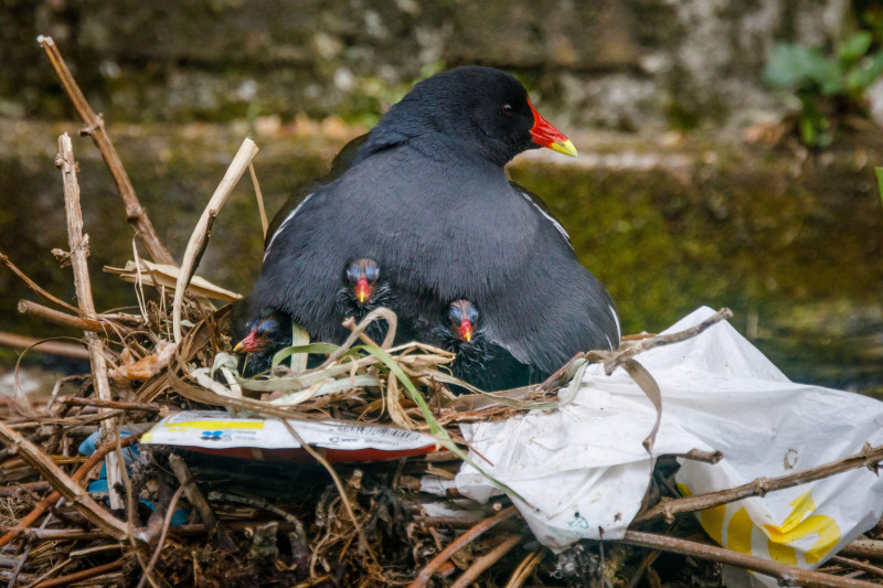 Wapping Canal, London, UK. 28th April 2021.Mother Moorhen protects her young in their nest, made from a mixture of aquatic plants and human discarded plastic bags and crisp wrappers, on an urban canal in Wapping, East London.Amanda Rose/Alamy Live News