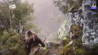 urs brun printre stanci pe munte