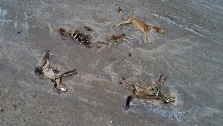 cadavre de animale care se descompun in stepa
