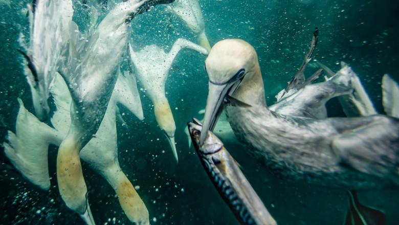 Corbii albi de mare se scufundă în apele reci ale Mării Nordului pentru a prinde pește.