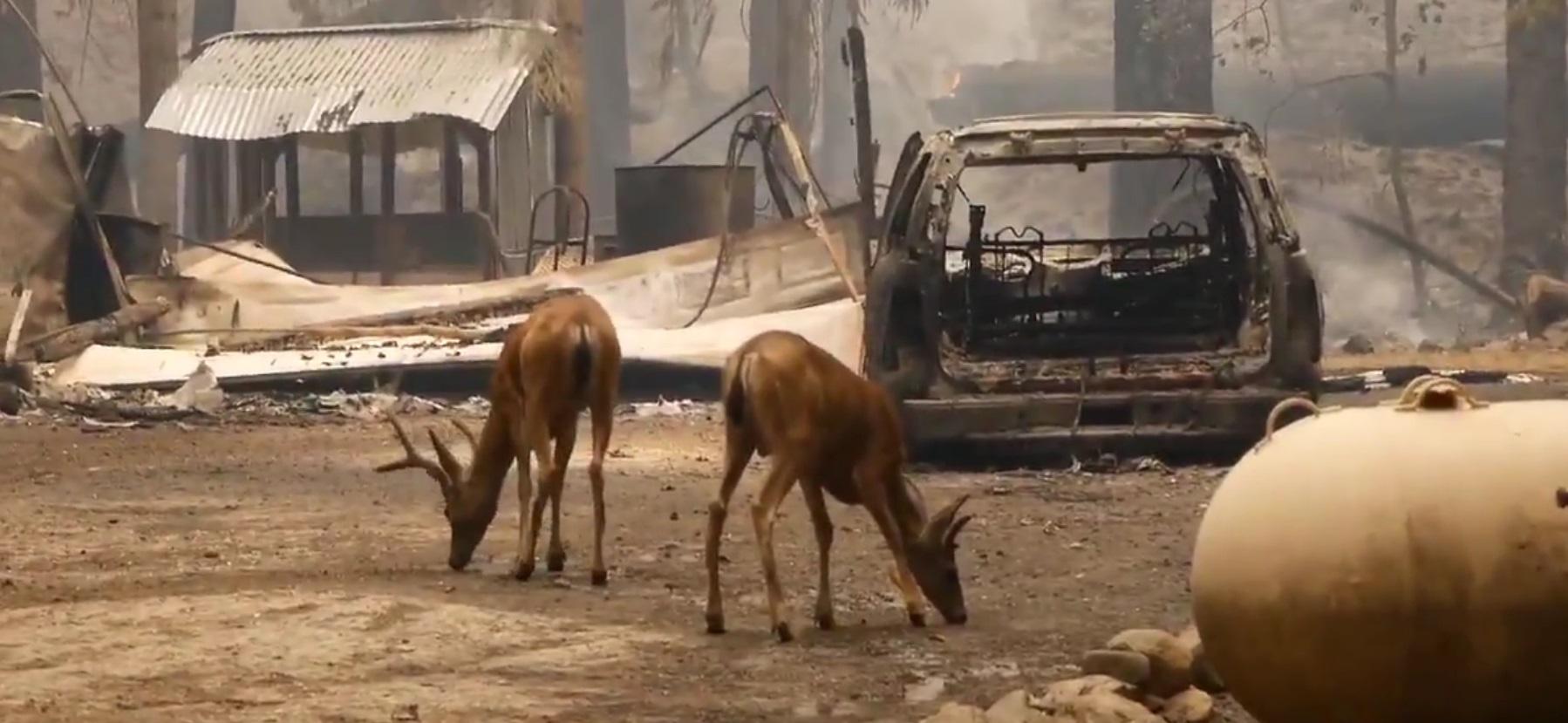 incendiu-california-caprioare-twitter-tyler-day