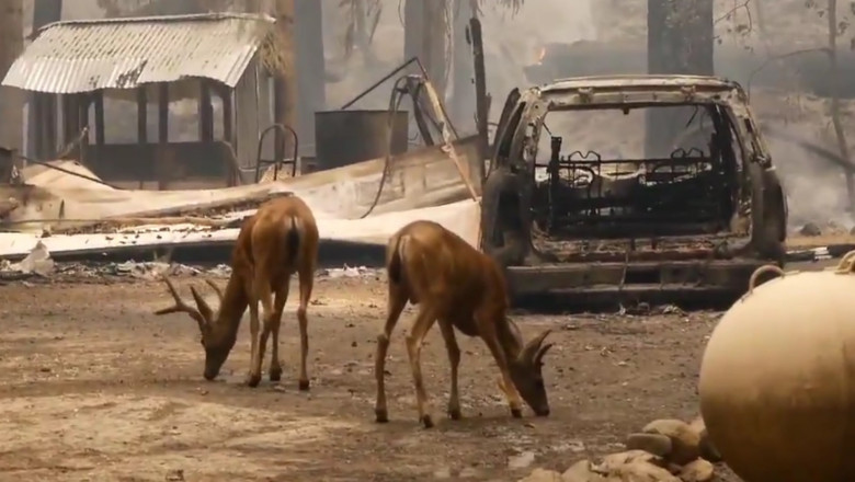incendii california caprioare