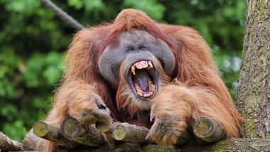 Orangutans at Leipzig Zoo, Germany - Jul 2015