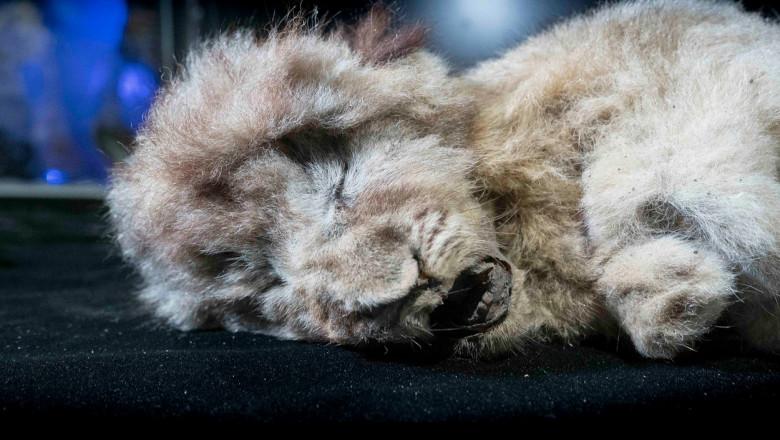 Fosilă de pui de leu de peșteră descoperită în SIberia