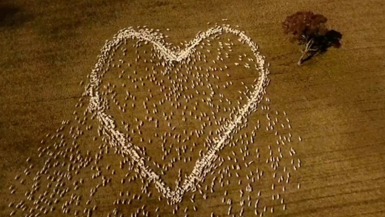 inima desenata cu oi