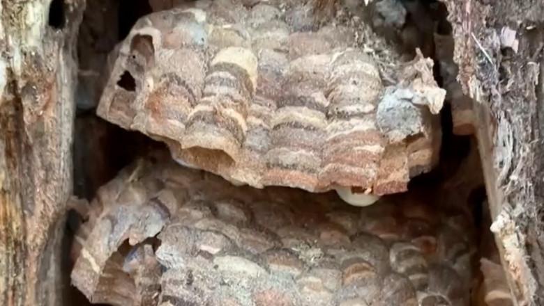 cuib de viespi asiatice uriase intr-un copac