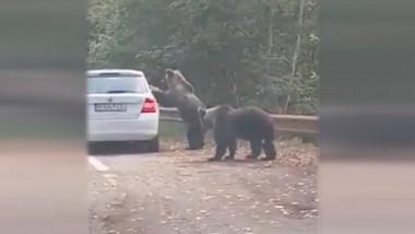 urs cu labele din fata pe o masina oprita pe Transfagarasan