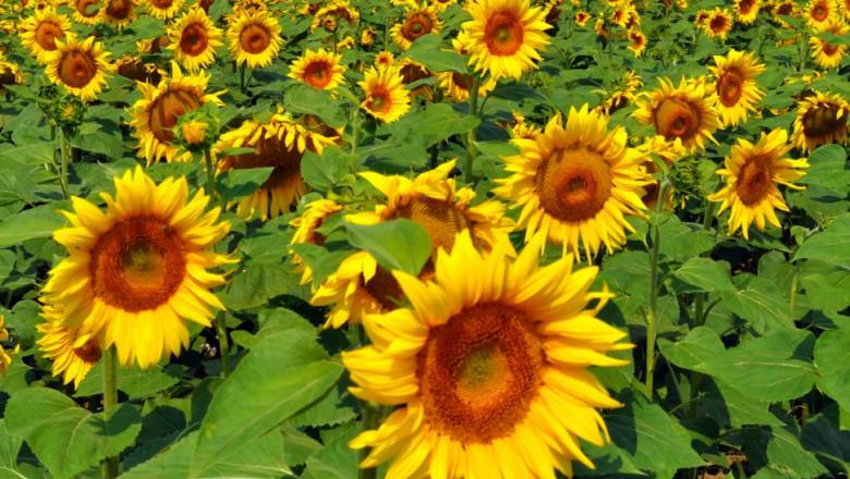 Cultură de floarea-soarelui.