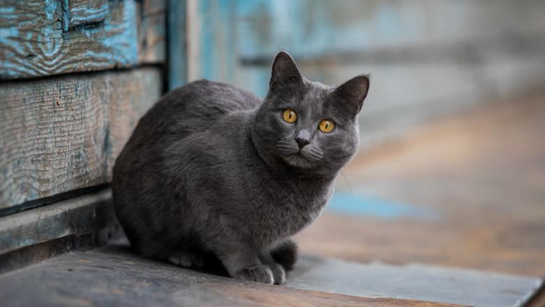 pisica de rasa afara