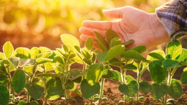 plante tinere de soia protejate de o mana umana