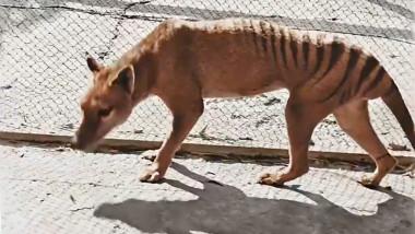 Imagine colorată cu ultimul Tigru tasmanian