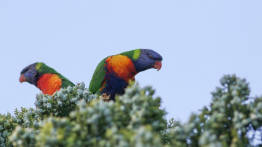 Native Australian rainbow lorikeets (Trichoglossus) perched on a summer evening