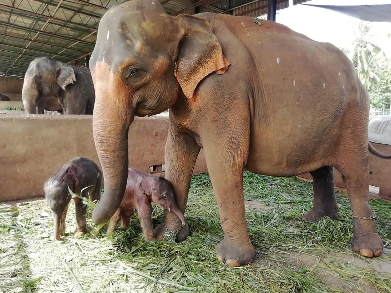 Imagini inedite cu elefanti gemeni nascuţi in Sri Lanka pentru prima data in ultimii 80 de ani