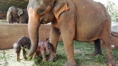 epui de elefant gemeni in sri lanka