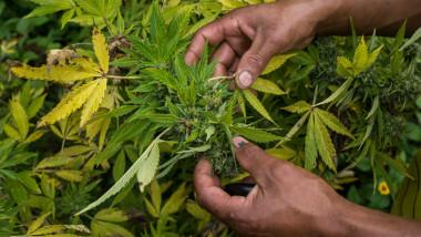 plantatie marijuana