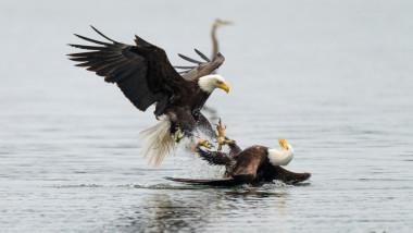 Luptă între doi vulturi pleșuvi pentru teritoriu și pradă.