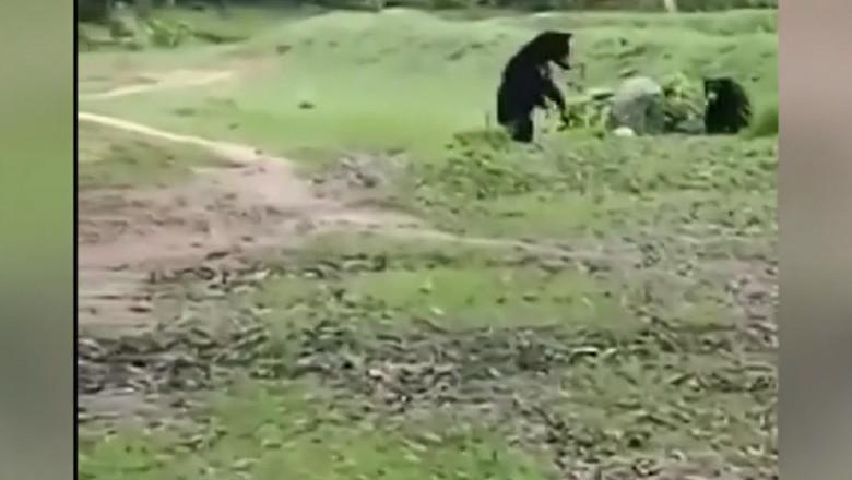 O ursoaică și puiul ei se joacă cu o minge aruncată de pe stadion, în timpul unui meci