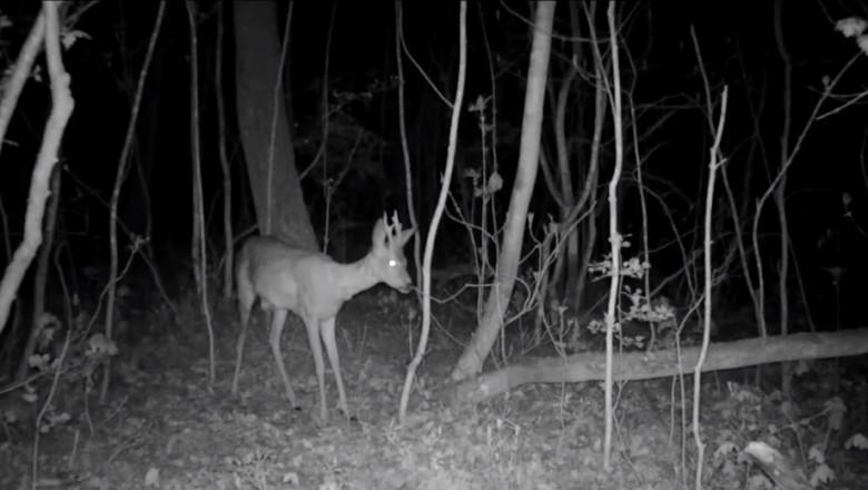 caprioara noaptea surprinsa cu camera video de monitorizare fauna