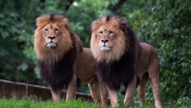 Doi lei urmăresc oamenii care vizitează grădina zoologică Smithsonian din Washington DC.