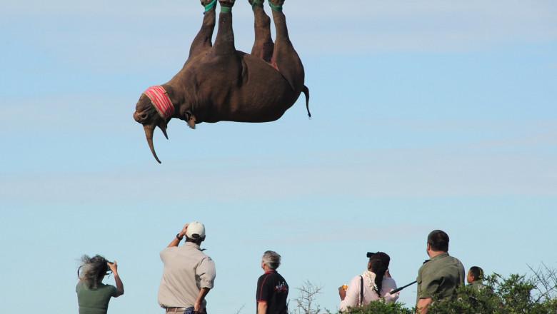Rinocer transportat de glezne